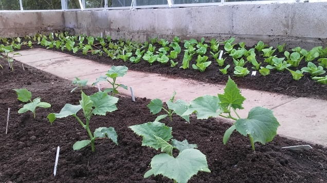 Cucumber plants and lettuce in the background