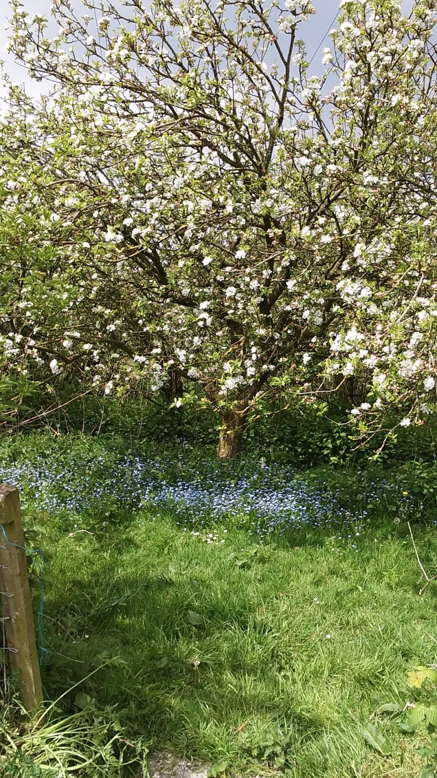 Our apple trees in blossom