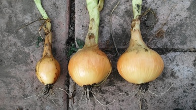 Onions harvested!