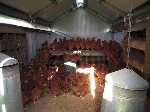 18 weeks old hens