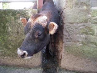 "Stumpy, our bull, the son of ""Stumpy's Mum""."