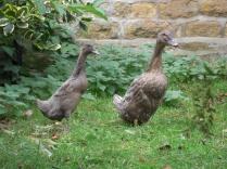 Duckling now!