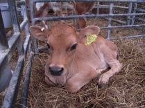 Young Jersey heifer