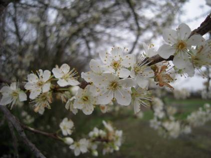 blossom-plum-tree-2