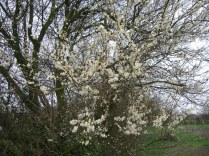blossom-plum-tree