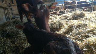 calf bull