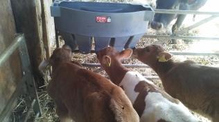 Bull calves drinking from the milk bar