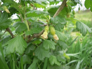 gooseberries forming!