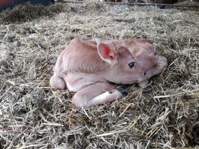 New addition. Heifer calf.
