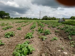 Potato plants coming up