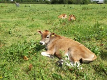 Heifer calves enjoying the sun