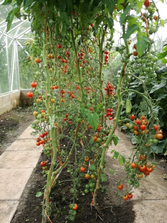 Greenhouse tomatoes!