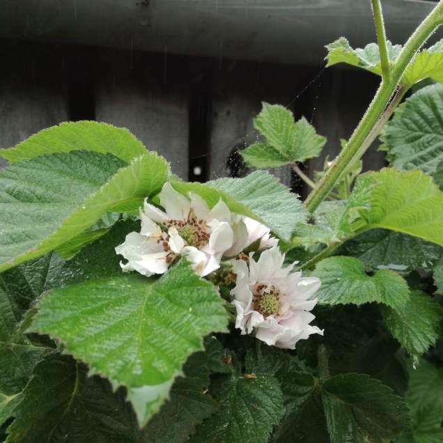 blackberries' blossom