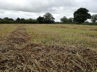 wheat straw in field