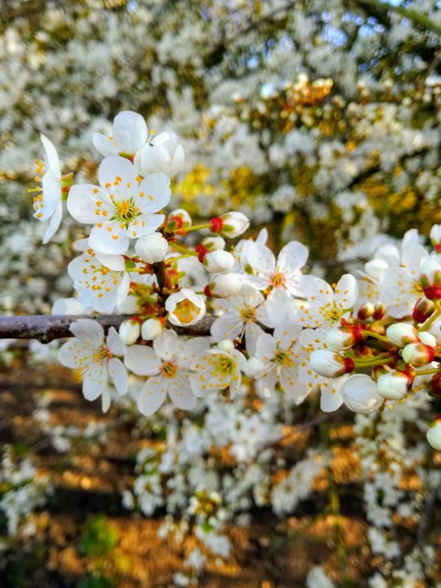 damson blossom.jpg