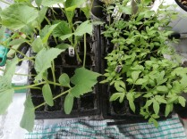 cucumbers and tomato plants