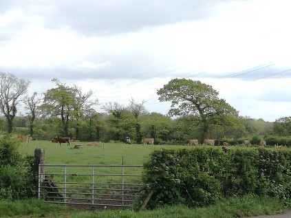 Cows enjoying their grass